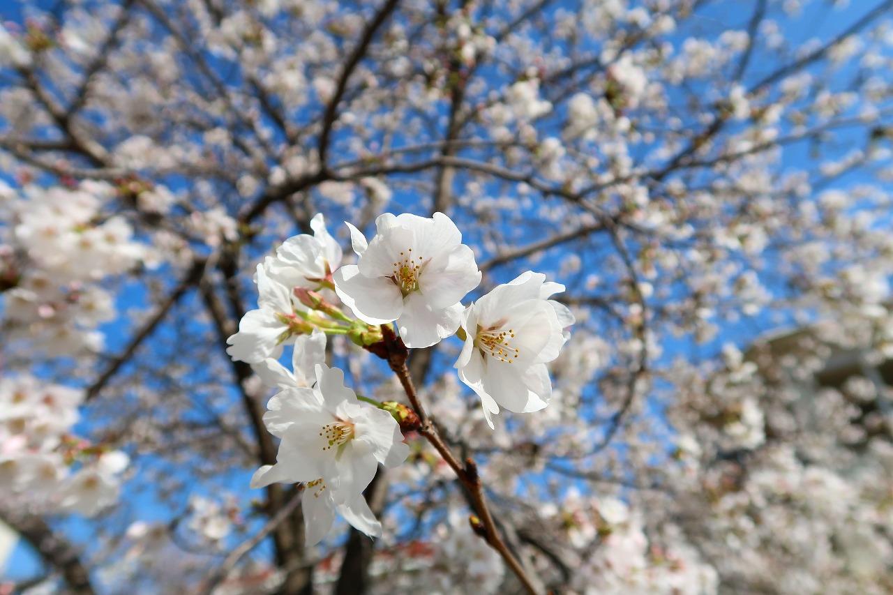 呉服町診療所の桜