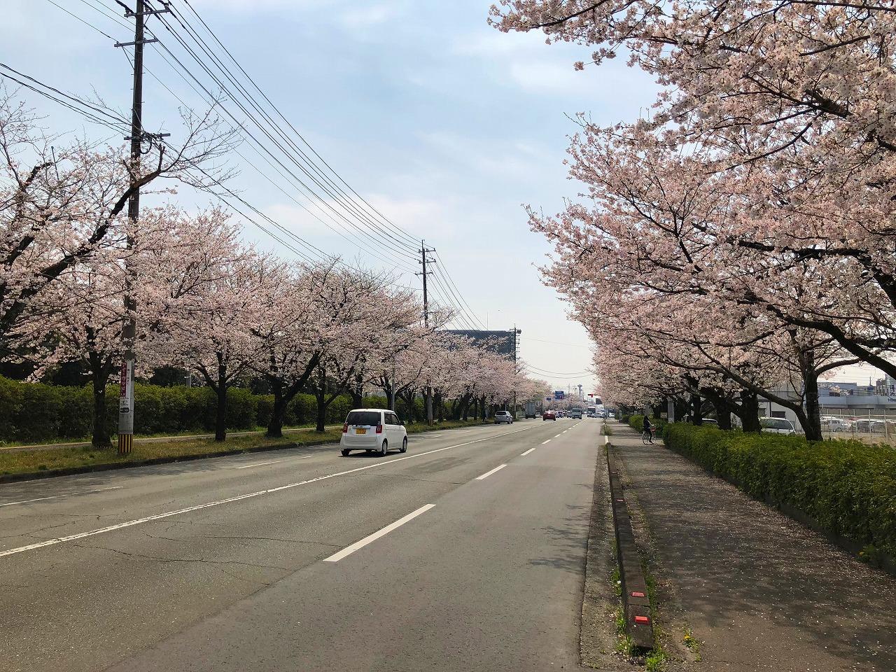 2018.3.26 健軍の桜