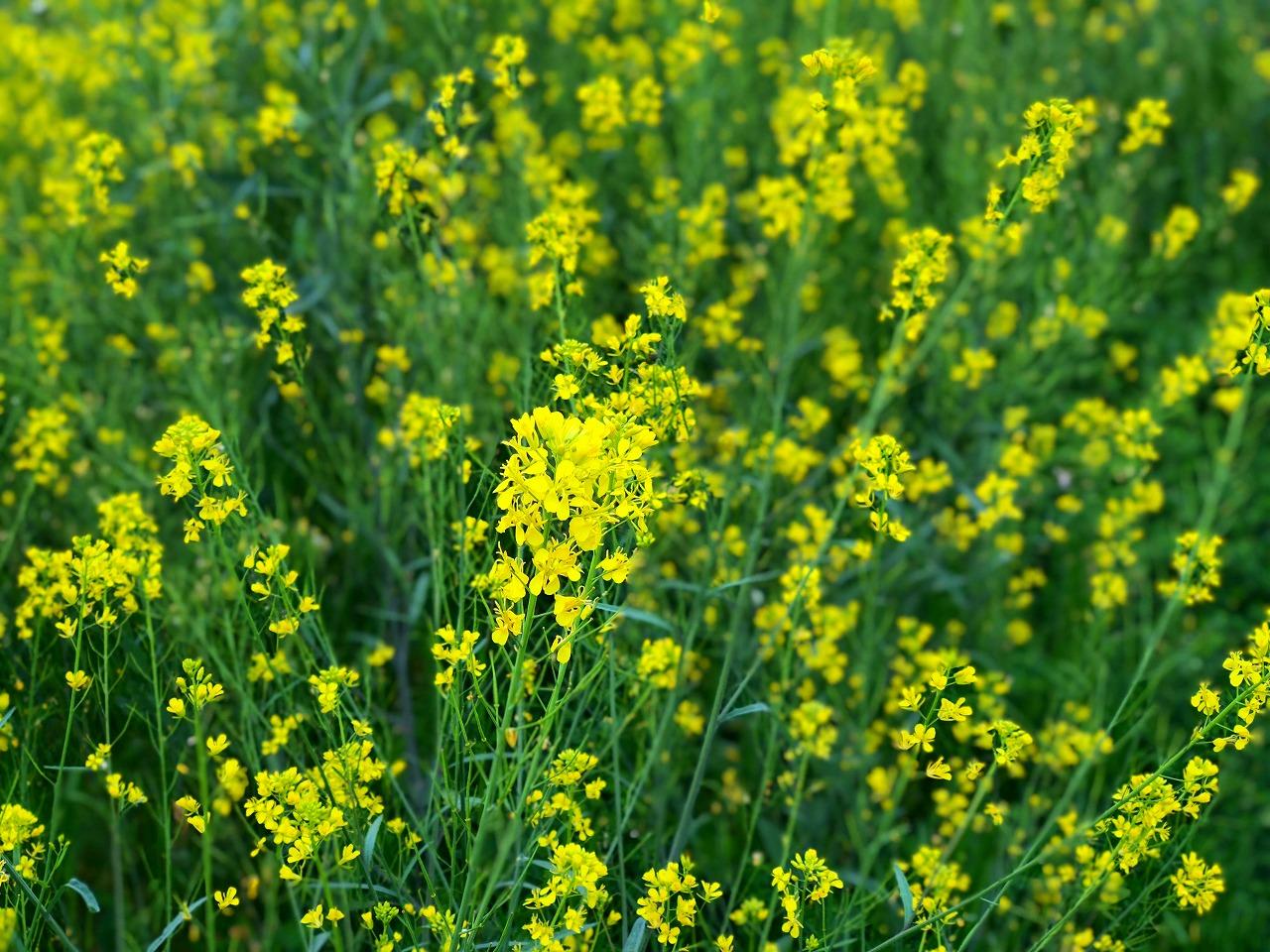 白川の河原の菜の花がまだきれいです!