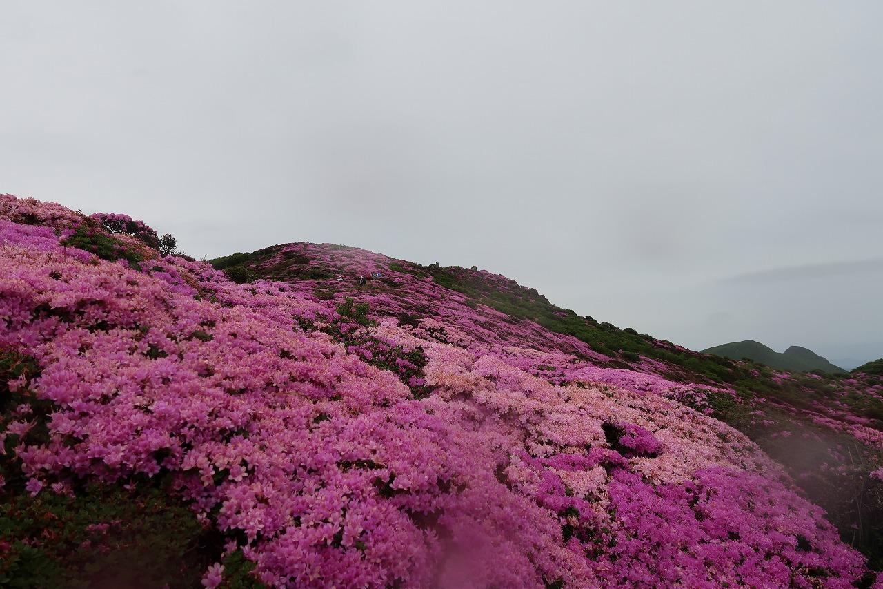 2018.5.26平治岳のミヤマキリシマ