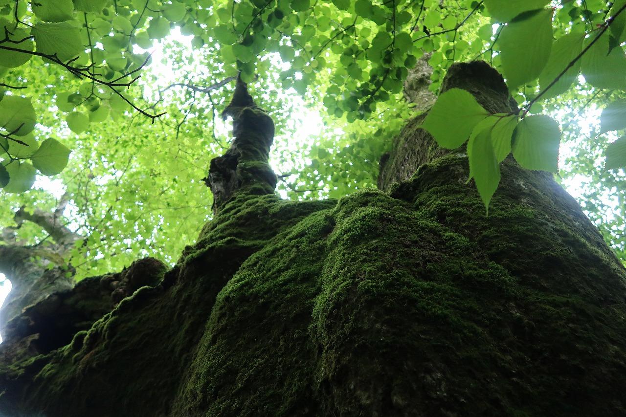 黒岳原生林2018.5