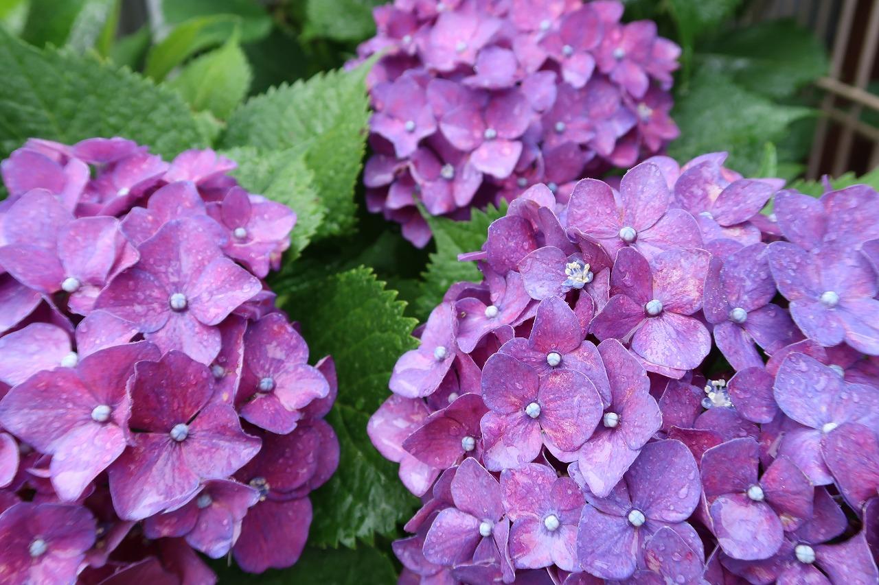 呉服町診療所の紫陽花がきれいなのだ!