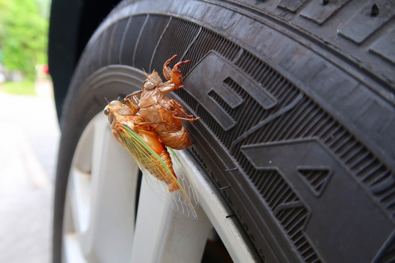 タイヤにセミ