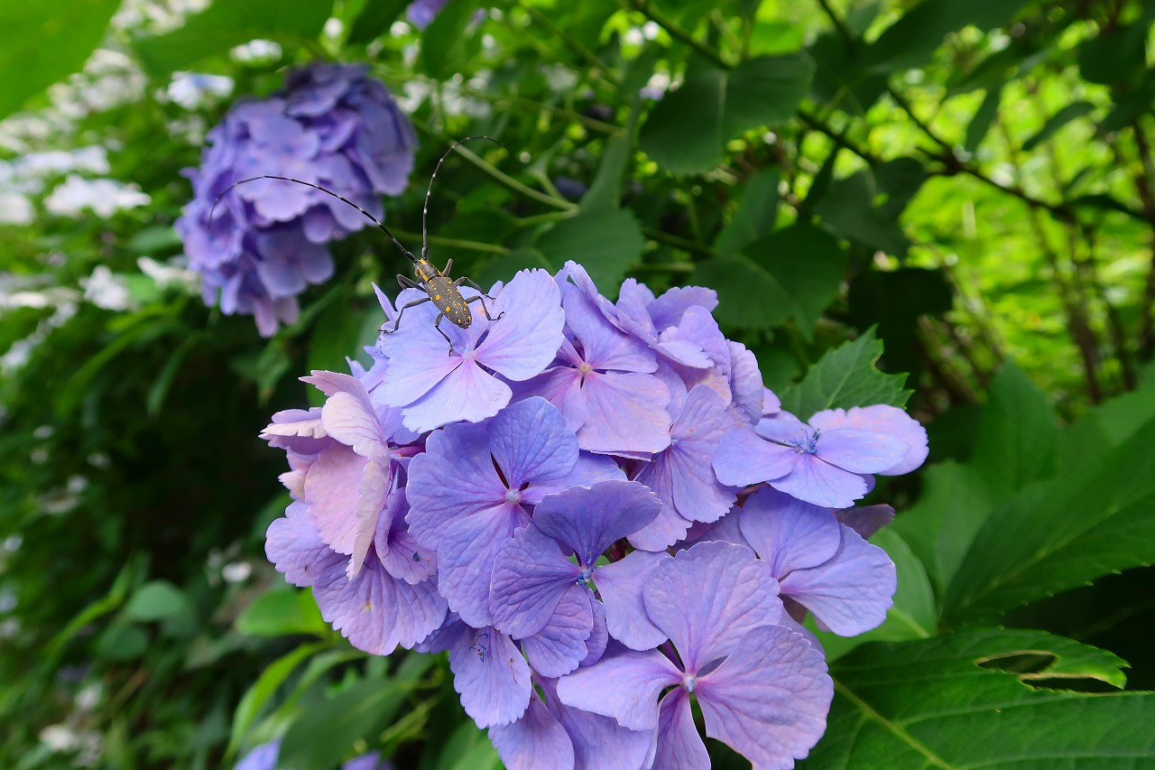 金峰山の紫陽花