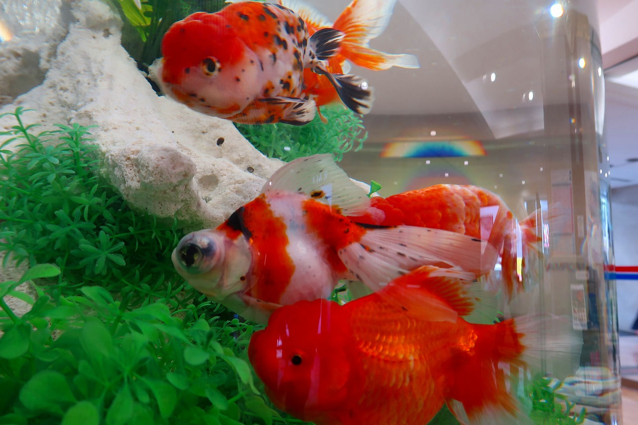鶴屋デパートの金魚