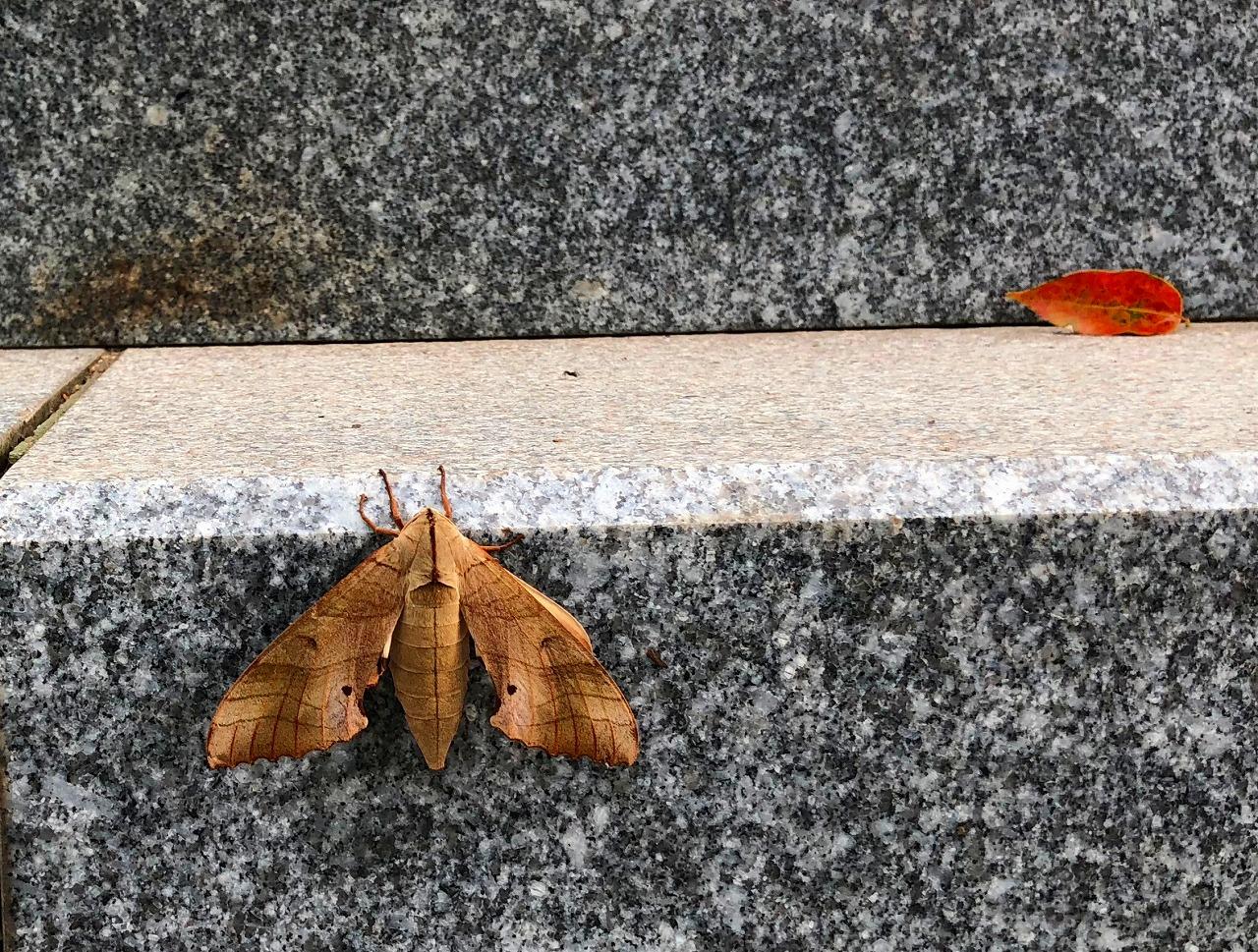 枯れ葉のような蛾