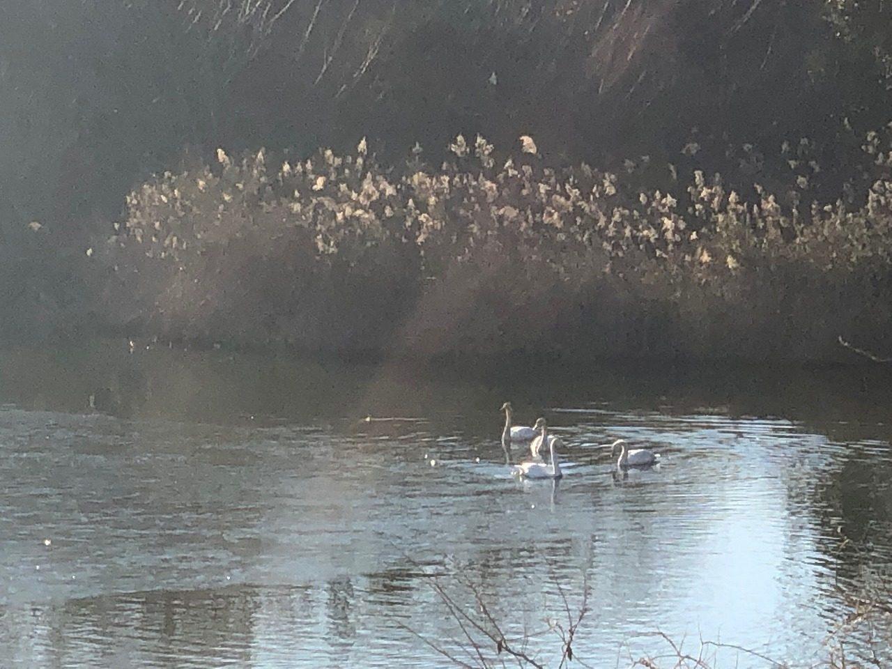 千葉の貯水池に白鳥なのだ