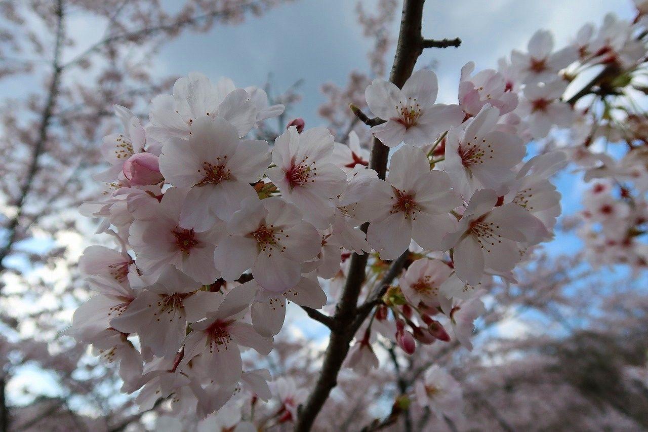 緑川ダムの桜 2019.3.31