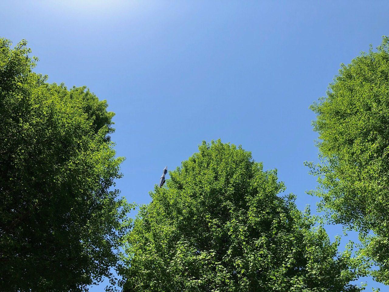 街路樹のイチョウの木