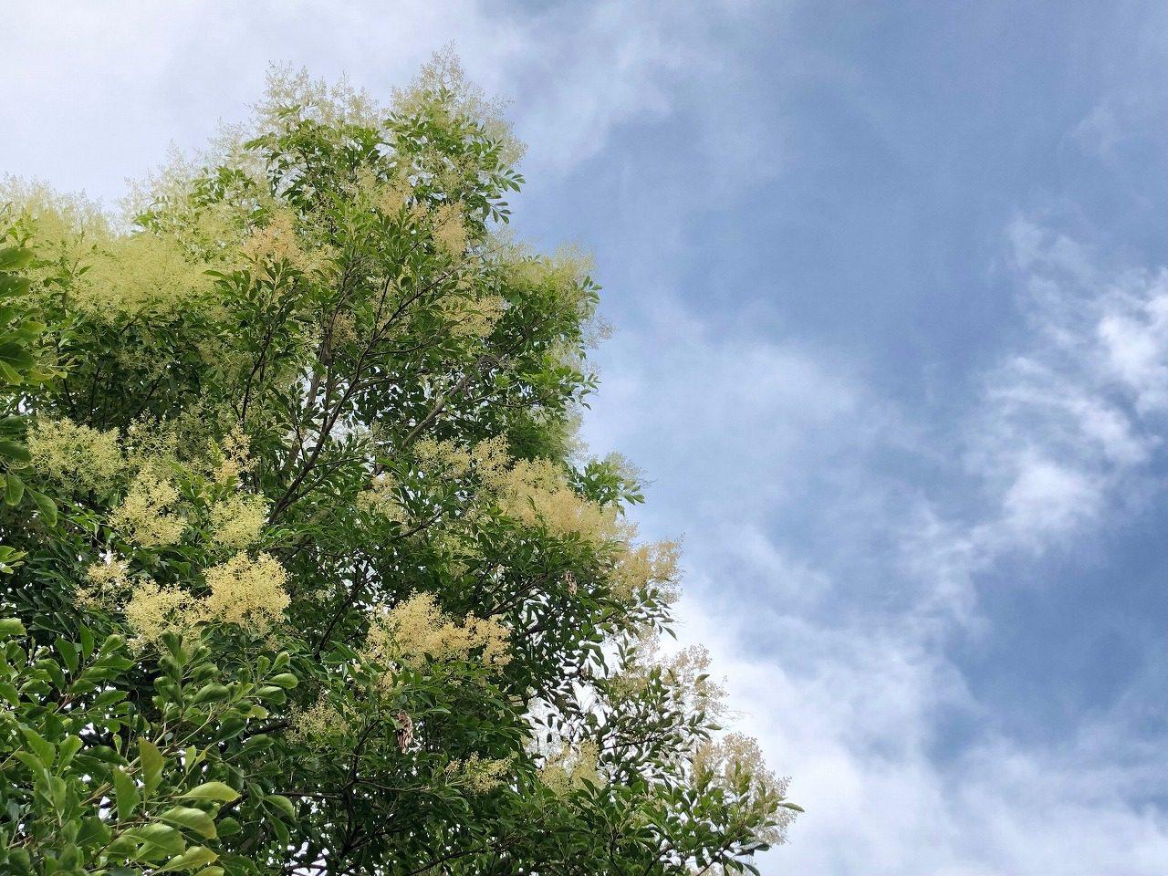 我が家のシマトネリコにミツバチぶんぶんやってきた!